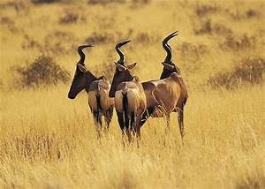 Afrikan Antilope : antelope in zambia ~ A.2002-acura-tl-radio.info Haus und Dekorationen