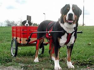 The World's Dogs: Greater Swiss Mountain Dog