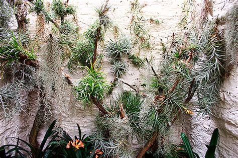 air growing plants really nice recipes every hour trend alert how to grow an air plant