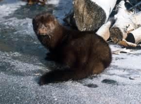Black Mink Animal