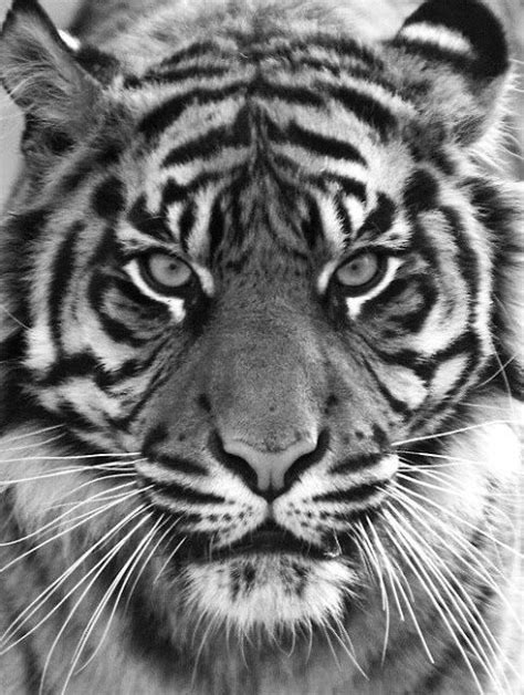 Pin by Laura Chappell on Wild animals | Tiger tattoo, Tiger face tattoo, Tiger tattoo design