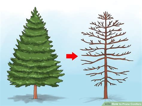 prune conifers  steps  pictures wikihow