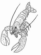Lobster Coloring Pages Print Shrimp Printable Lobsters Gambar Printables Body Crayfish sketch template