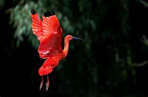 nature, Birds, Wings, Trees, Flying, Red, Depth Of Field ...