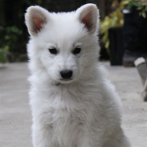 berger blanc suisse breed guide learn   berger