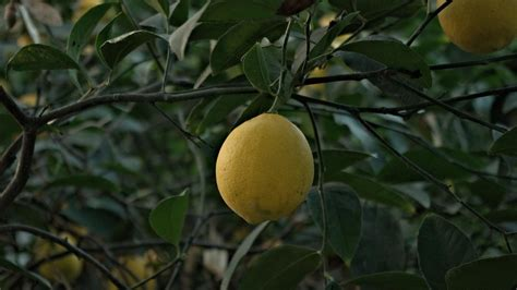 how does a tree take to grow how long does it take for a lemon tree to grow and bear fruit reference com