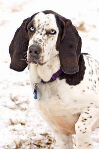 Basset Hound / Blue Tick Hound mix. Love the coloring ...