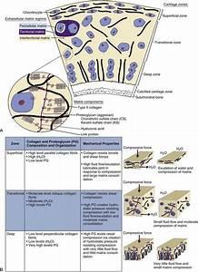 Articular Cartilage  Biology  Biomechanics  And Healing