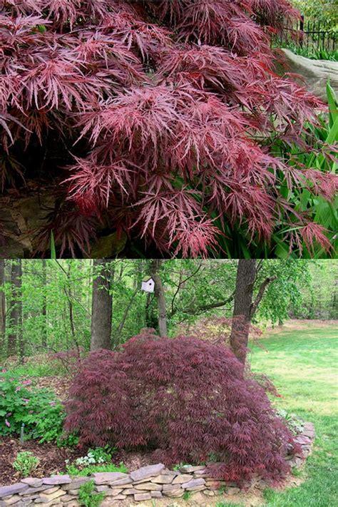 buy crimson queen dwarf japanese maple tree  sale
