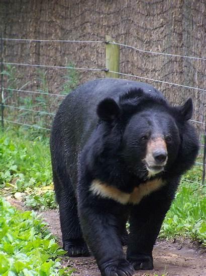 Bear Asiatic Asian Animals Bears Mammals Minnesota