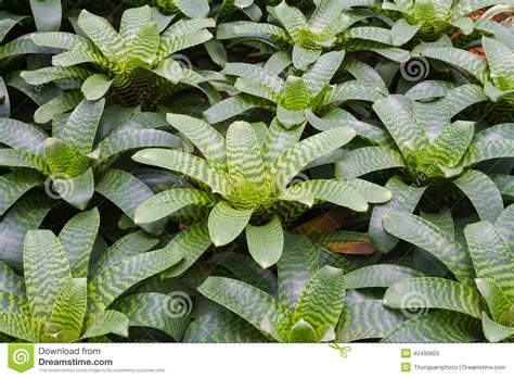 Bromeliad Plant In Green House Stock Photo Image 40490855