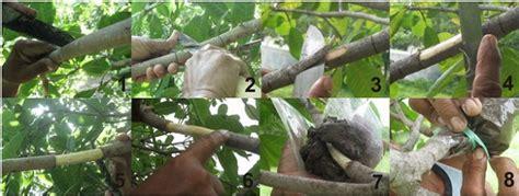 mudah mencangkok pohon mangga  baik  benar
