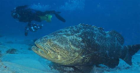 grouper ikan goliath fakta hampir punah raksasa atlantic yang saltstrong