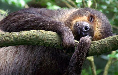 lazy sloth zoo singapore aasialainen hullu