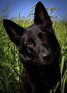 The German Shepherd Dog - The Happy Puppy Site