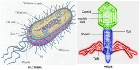 Viruses And Bacteria  Assignment Point