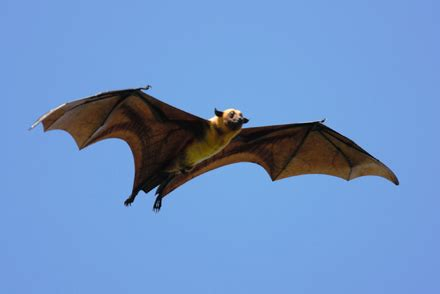 fruit bats are very different to the ones you find in your