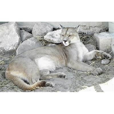 Pumaconcolor Images - Reverse Search