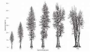 The western red-cedar: A 1500 year old giant | Western red ...