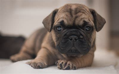 wallpapers small puppy dog cute animals french