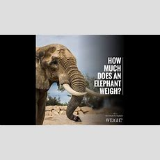 How Much Does An Elephant Weigh? Youtube
