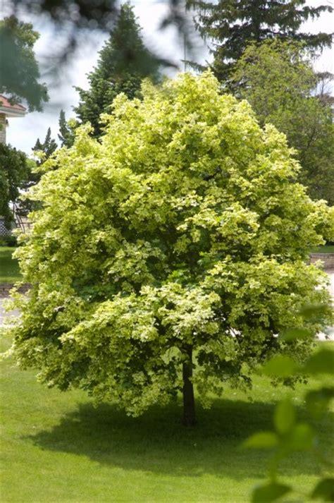 varigated maple tree variegated norway maple trees today nursery