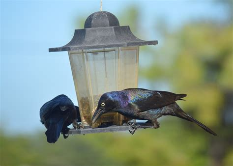 dealing with grackles the gilligallou bird store