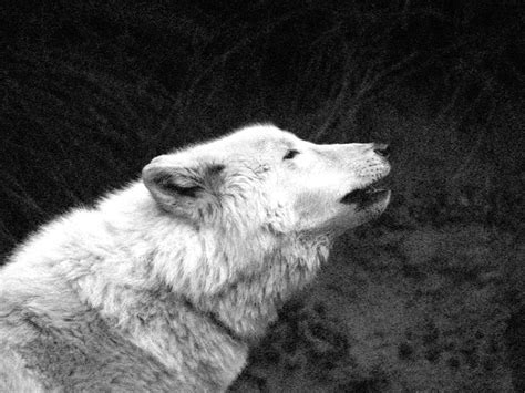 Black And White Wolf Wallpaper by Black And White Wolf 29 Hd Wallpaper Hdblackwallpaper