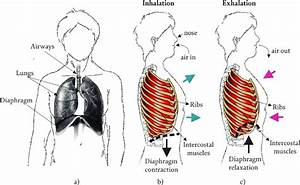 Breathing Process   A  Structures Involved In The