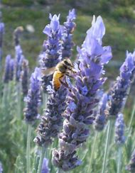 French Lavender Flowers