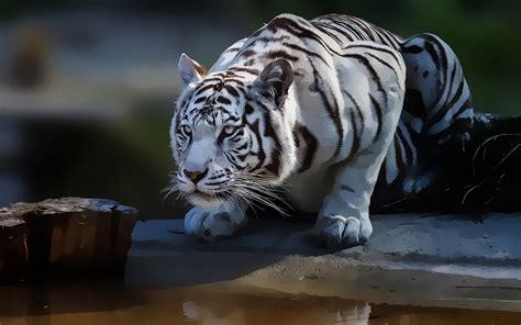 white tiger wallpapers   pixelstalknet