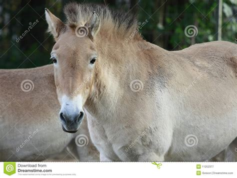 horse asian outdoor breed royalty horses przewalski wild equus mongolian poliakov known rare portrait preview dreamstime