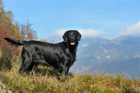 Does Flat Coated Retriever Shed by 16 Breeds That Are Great At Swimming American Kennel