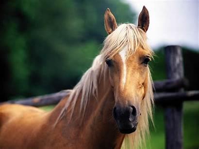 Horse Wallpapers Desktop Horses Backgrounds Computer Resolution