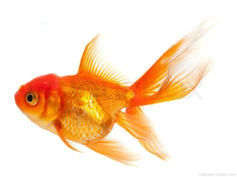 gold fish wallpaper wallpapersafari