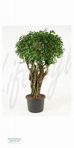 Ficus Benjamini Gelbe Blätter : ficus benjamina columnar im exklusiven pflanzgef ~ Watch28wear.com Haus und Dekorationen
