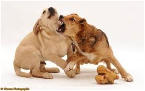 food aggression  dogs