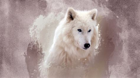 wolf wallpapers hd wallpapers id