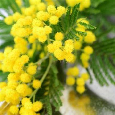 mimosa d hiver ou des 4 saisons planter bouturer entretenir