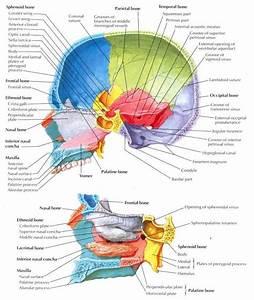 Skull Midsagittal Section Labeled
