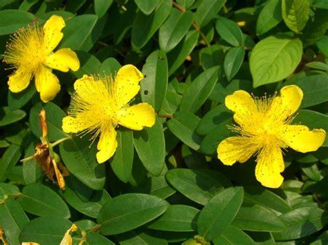 gele hoge bloemen 17 beste idee 235 n over bodembedekkers op pinterest