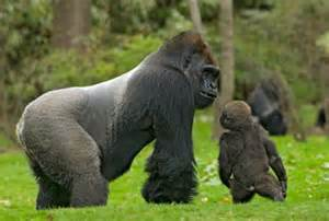 Western Lowland Gorilla Endangered Species
