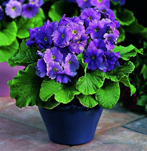 d hiver en pot 7 fleurs pour balcon qui l 233 gayeront au cours de l hiver