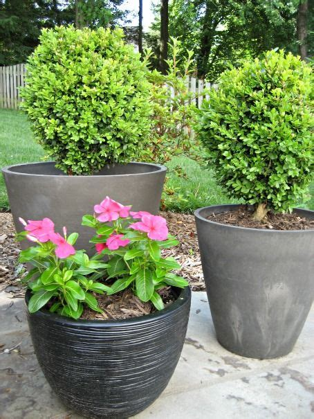 potted trees for patio 70 best images about boxwood plant idea s on 4373