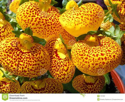 fiore giapponese fiore giapponese fotografia stock immagine di fiore