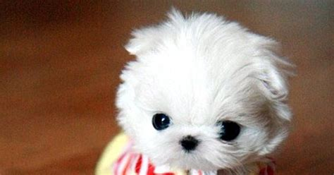 dogs that stay small and don t shed cuteies pinterest dog maltese and animal
