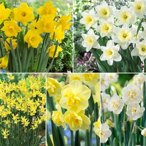 martha stewart living daffodil border assortment dormant