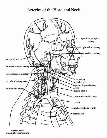 Neck Anatomy Head Coloring Arteries Pages Pdf