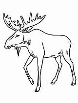 Moose Coloring Drawing Bull Pages Reindeer Antlers Draw Alaska Elk Sheets Printable Cartoon Skull Drawings Head Animals Clipartmag Template Getdrawings sketch template