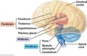 midbrain hindbrain forebrain google search anatomy